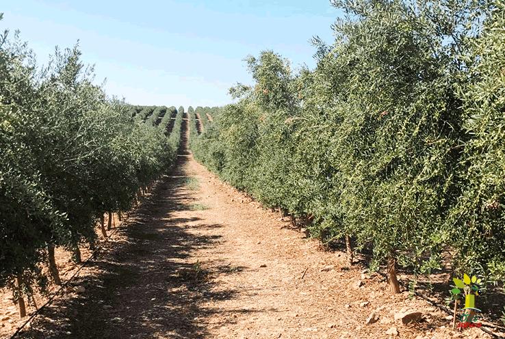 Comienza la nueva campaña del aceite de oliva virgen extra Óleo Jarico