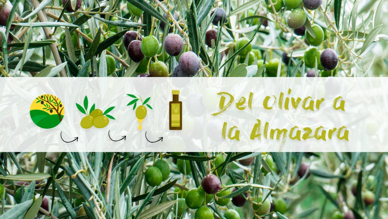 Del olivar a la Almazara ¡Comenzamos con la recolección del mejor AOVE!
