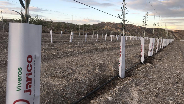 Nueva plantación de olivos de arbequina en Almazara Óleo Jarico