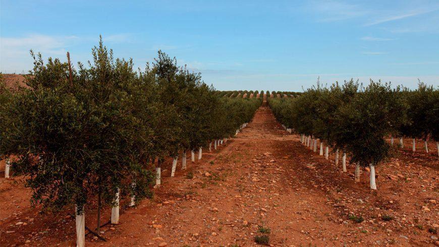 La Unesco celebra por primera vez el Día Mundial del Olivo