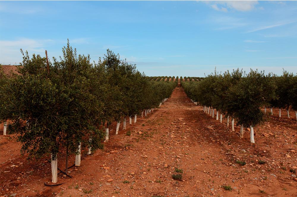 El ciclo integral: el secreto para un aceite de oliva virgen extra de la máxima calidad