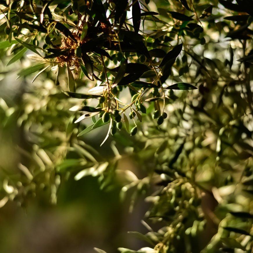 El clima de Almería, una influencia positiva para un gran aceite de oliva virgen extra
