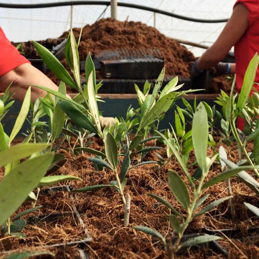 El olivar de Óleo Jarico, una garantía de calidad