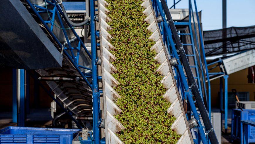 Iniciamos nuestra nueva campaña de aceite de oliva con unas expectativas excelentes