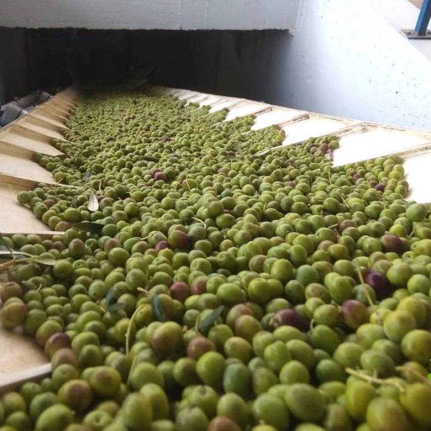 Óleo Jarico sigue creciendo y abre un nuevo punto de recogida de oliva en Guadix