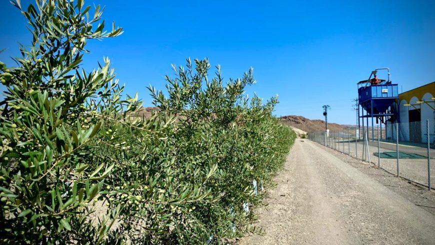 El olivar, aliado en la conservación de los suelos