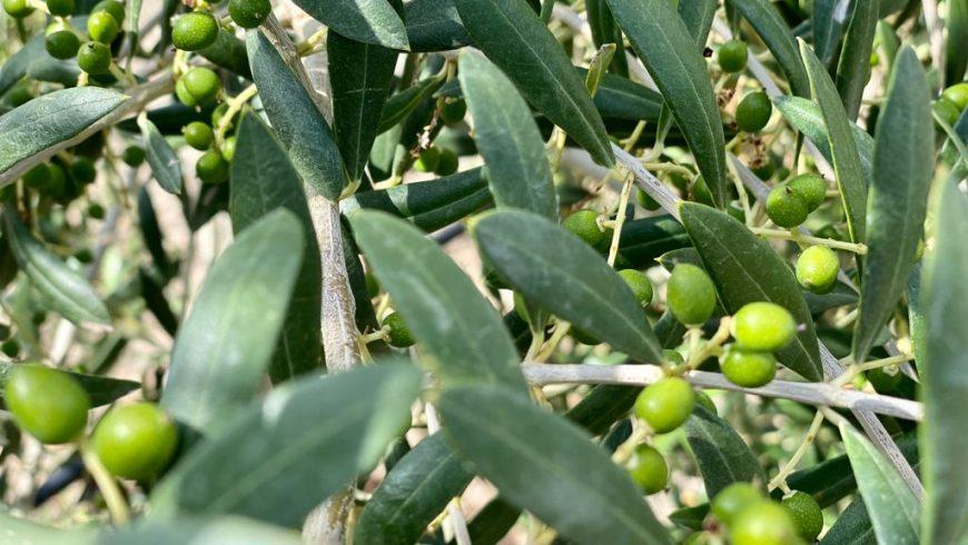 Septiembre es la antesala de la nueva temporada de aceite de oliva virgen extra